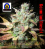Next Generation Romulan Diesel Regular 5 Seeds